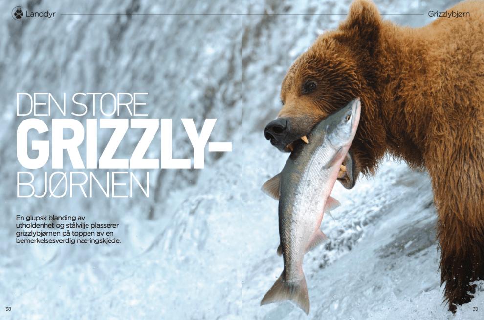 Den store grizzlybjørnen, oppslag